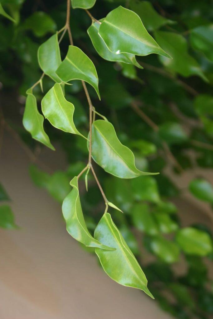Ficus or Weeping Fig