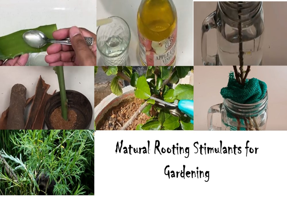 Natural  homemade Rooting Stimulants for Gardening