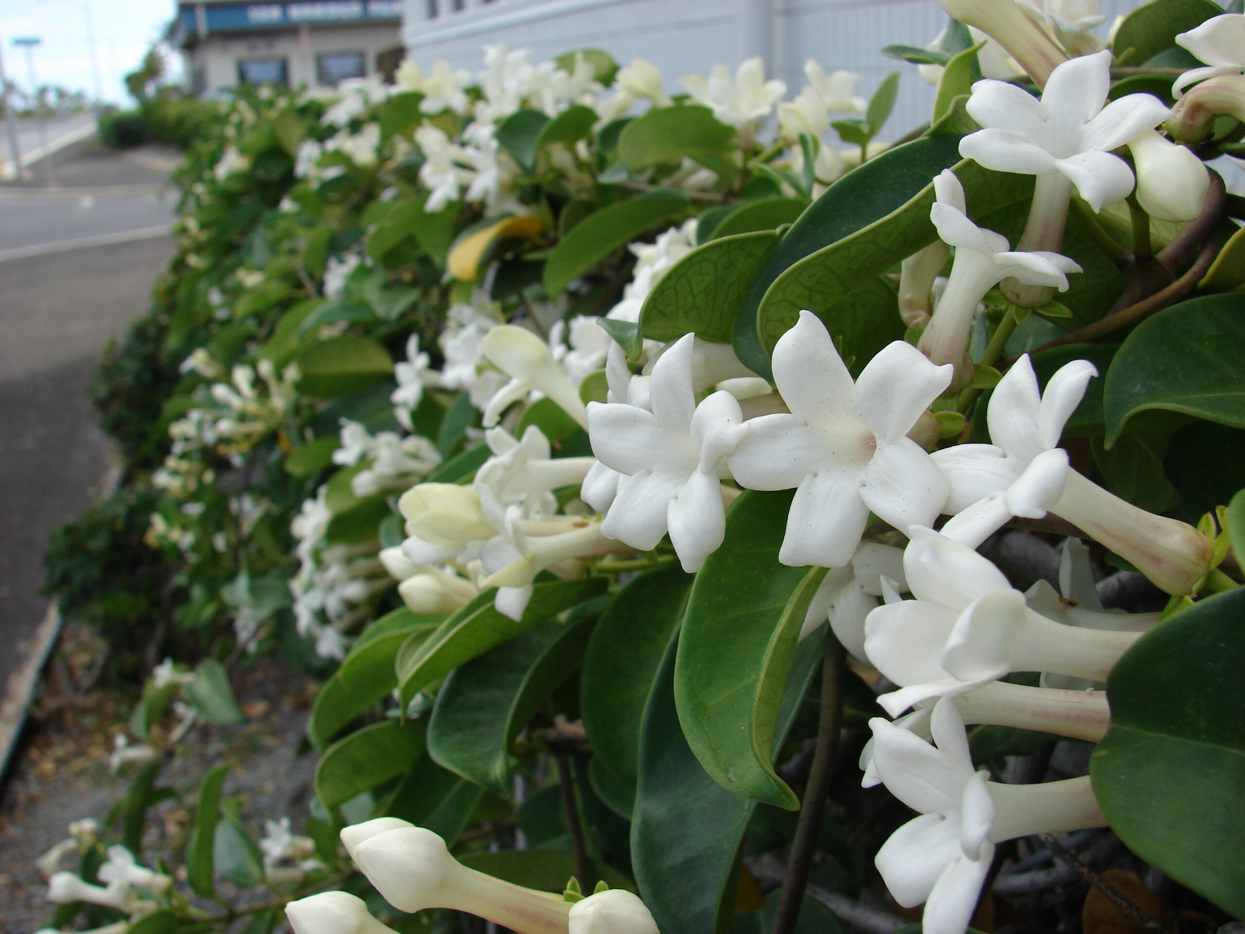 Know,Plant,Madagascar,Jasmine