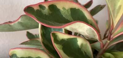 Plant's disease