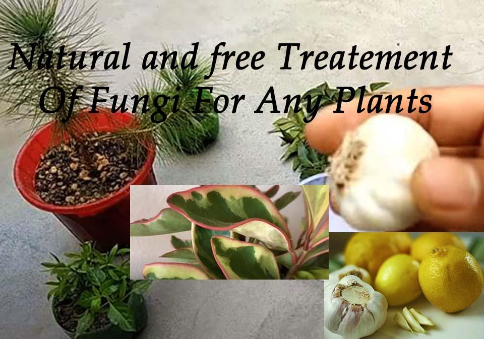 indoor,plants,homeplants,natural and free treatement,free treatement of fungi,fungi