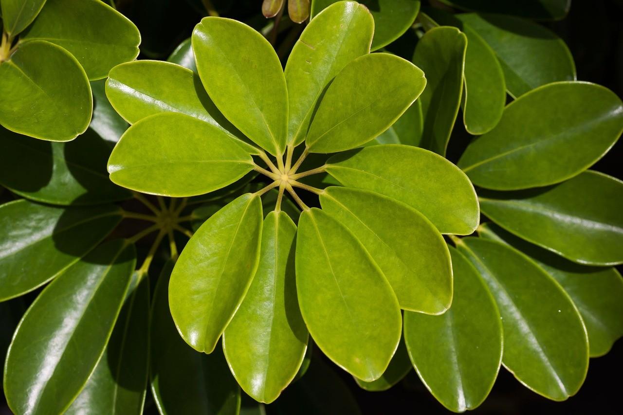 thechnical sheet of the plants_schefflera