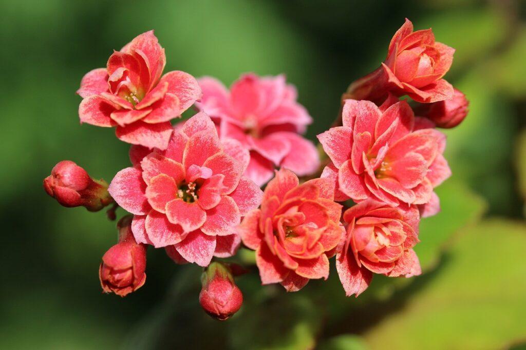 Thechnical Sheet Of The Plants Kalanchoe blossfeldania