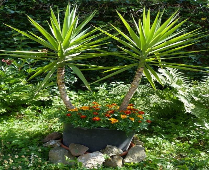 Know,Plants,Yucca