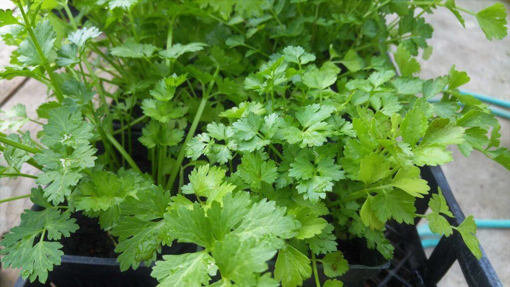 Coriander, kitchen herbs