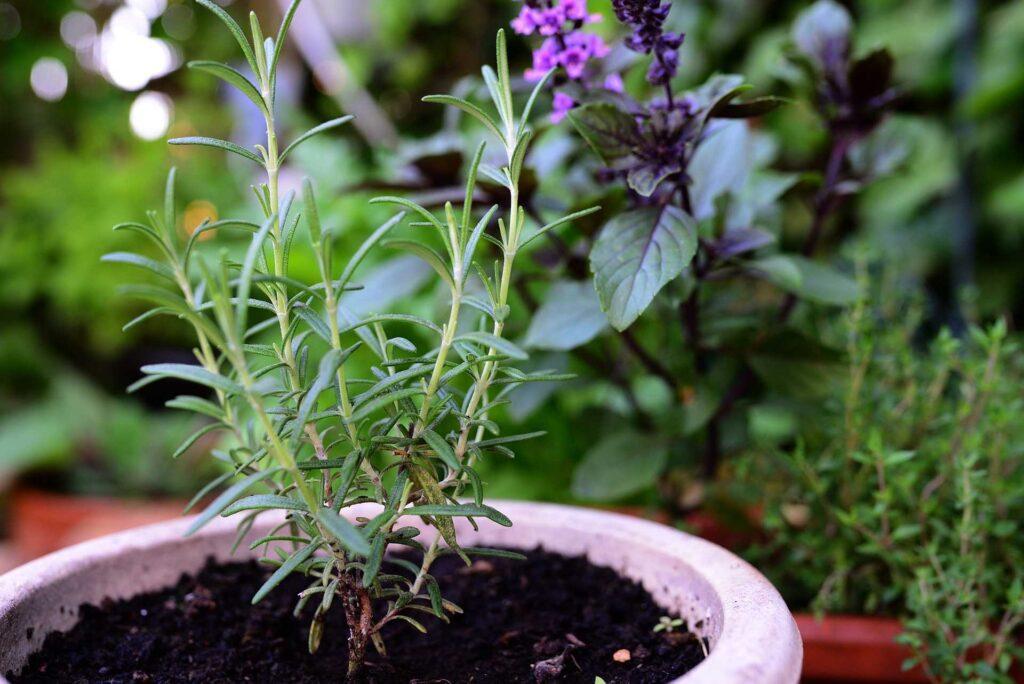 rosemary, kitchen herbs